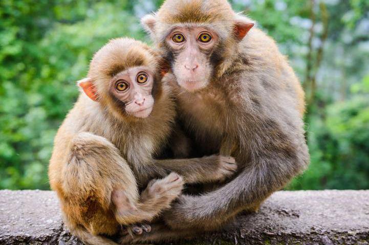 Опасность обезьян